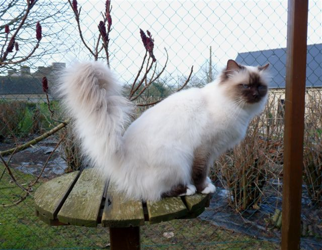 Le chat bott birmans etoile for Au jardin des hesperides